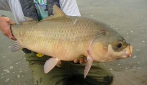 Fish species at risk for Buffalo fish taste